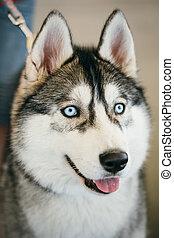 Blue-eyed Gray Adult Siberian Husky Dog