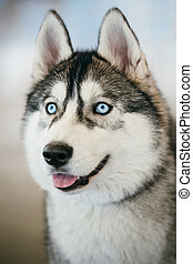 Blue-eyed Gray Adult Siberian Husky Dog portrait