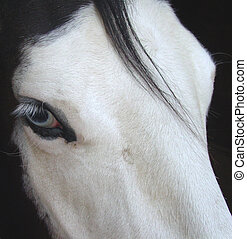 Blue eyed Pinto dressage horse at the stables in California