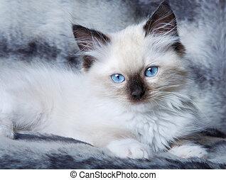Blue eyed kitten - Seal point mitted ragdoll kitten lying on...
