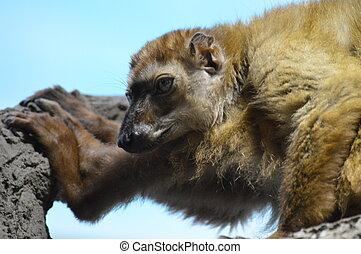 Blue Eyed Lemur