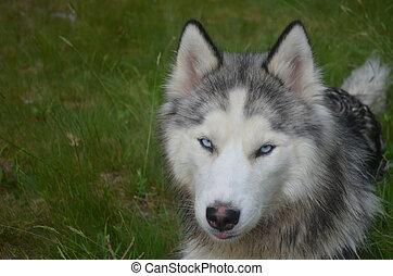 Blue Eyed Siberian Husky Puppy Dog