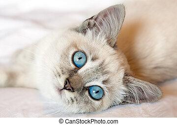 Blue Eyes Kitten