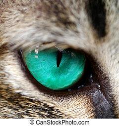 Blue eyes of Bengal cat.