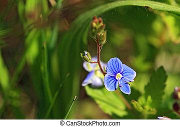 blue field flower amongst green herb