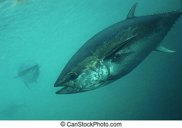 Blue-fin Tuna underwater picture