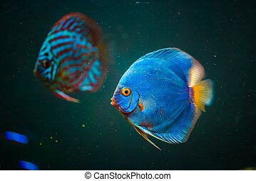 Blue fish from the spieces Symphysodon discus closeup. - ...