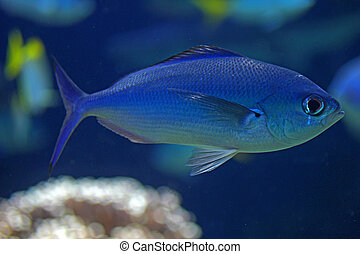 Blue fish in the ocean