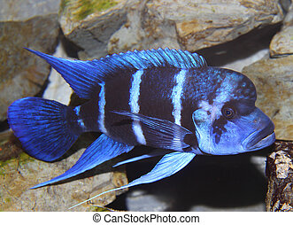 blue fish with a large mouth swims in tropical seas 3