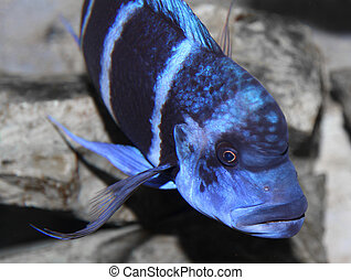 blue fish with a large mouth swims in warm tropical seas 1