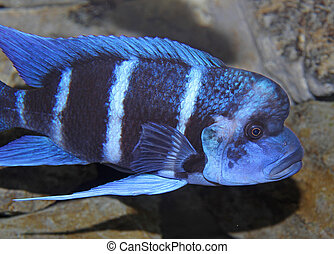 blue fish with a large mouth swims in warm tropical seas 2