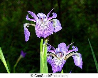 Blue Flag Iris macro - The Blue Flag Iris is a herb found...