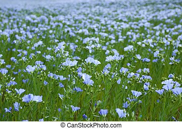 blue flax field closeup at spring, shallow depth of field