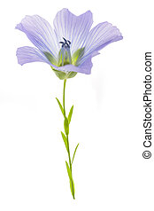 Blue Flax Flower isolated on white