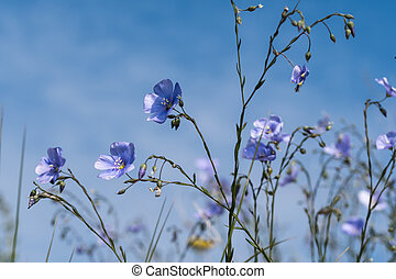 Blue flax flowers close up by blue sky