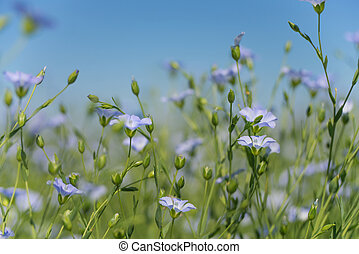 Blue flax flowers closeup - Blue flowers of flax in a field...