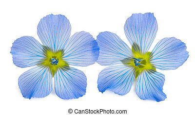 Blue Flax Flowers isolated on white