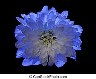 blue flower Chrysanthemum isolated on black