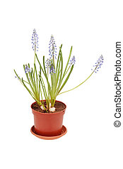 Blue flower in a pot. Muscari.