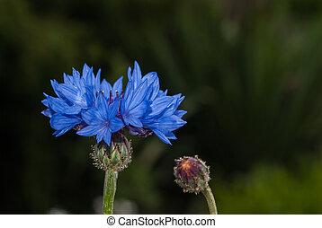 Blue flower in the garden