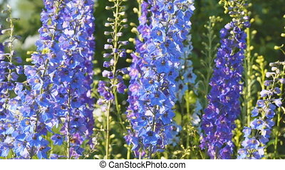 Blue flower is delphinium - Blue flower is the delphinium