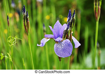 Blue flower of Iris on rainy day