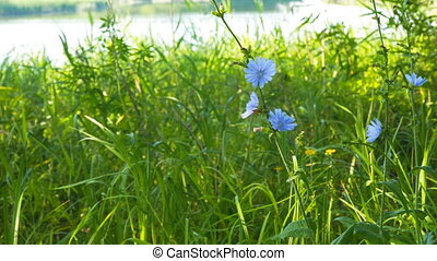 Blue flower on natural background. Flower of wild chicory...