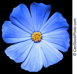 Blue flower Primula isolated on black
