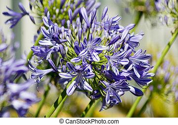 Blue flowering Agapanthus in a garden in Goettingen , Germany
