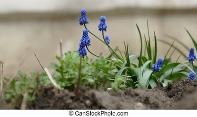 blue flowers bell shaped leafy plant close up blooming...