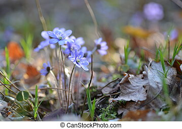 blue flowers - Blossoming hepatica in spring on forest glade