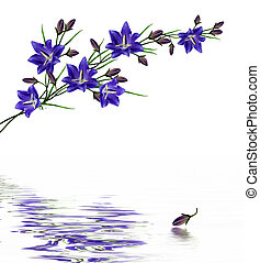blue flowers campanula isolated on white background