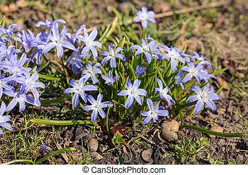 chionodoxa in spring