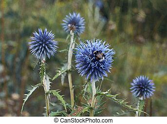 Blue flowers Echinops sphaerocephalus.