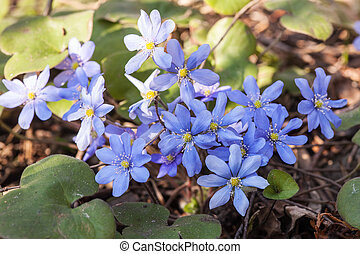 Blue flowers in the forest closeup