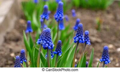 Blue flowers Muscari