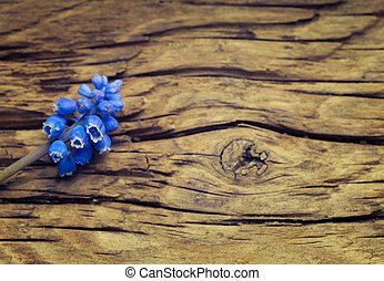 Blue flowers Muscari on wooden vintage surface