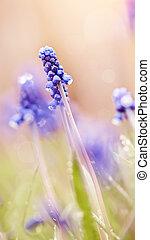 Blue flowers of a muskari in dew