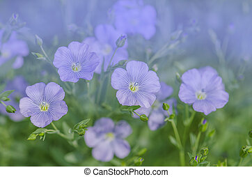 Blue flowers of flax