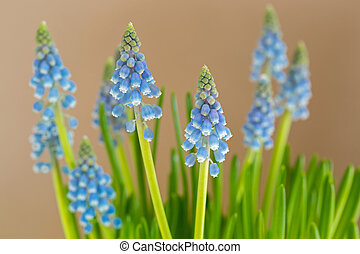Blue flowers of Grape Hyacinth growing with blurred yellow background