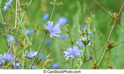Blue flowers on natural background. Flowers of wild chicory...
