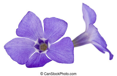 Blue flowers Periwinkle isolated on a white background close-up.