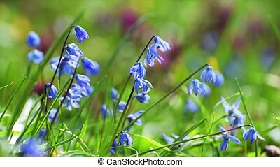 Blue flowers scilla on meadow - Beautiful blue flowers...