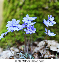 blue flowers - Blossoming hepatica in spring on forest glade...