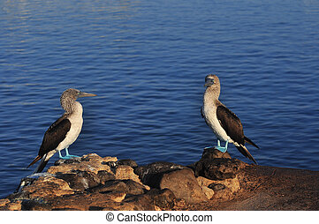 Blue Footed Boobie - Blue footed boobies on the island of...