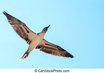 Blue-footed boobie. Galapagos, Ecuador