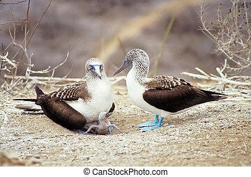 Blue-footed boobies, Galapagos Islands, Ecuador -...