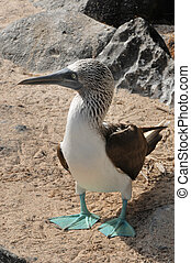 Blue footed booby bird
