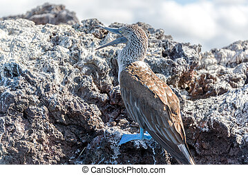 Blue Footed Booby in the Galapagos Islands with its mouth...