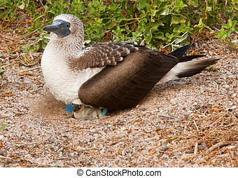 Blue Footed Booby Mother and Chick
